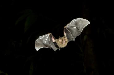 Bat flying against black background